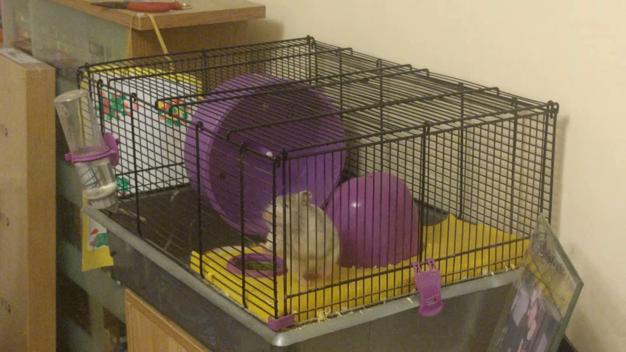 Amazing Spider-Hamster Finally Caught on Camera Defying Gravity in Her Cage!