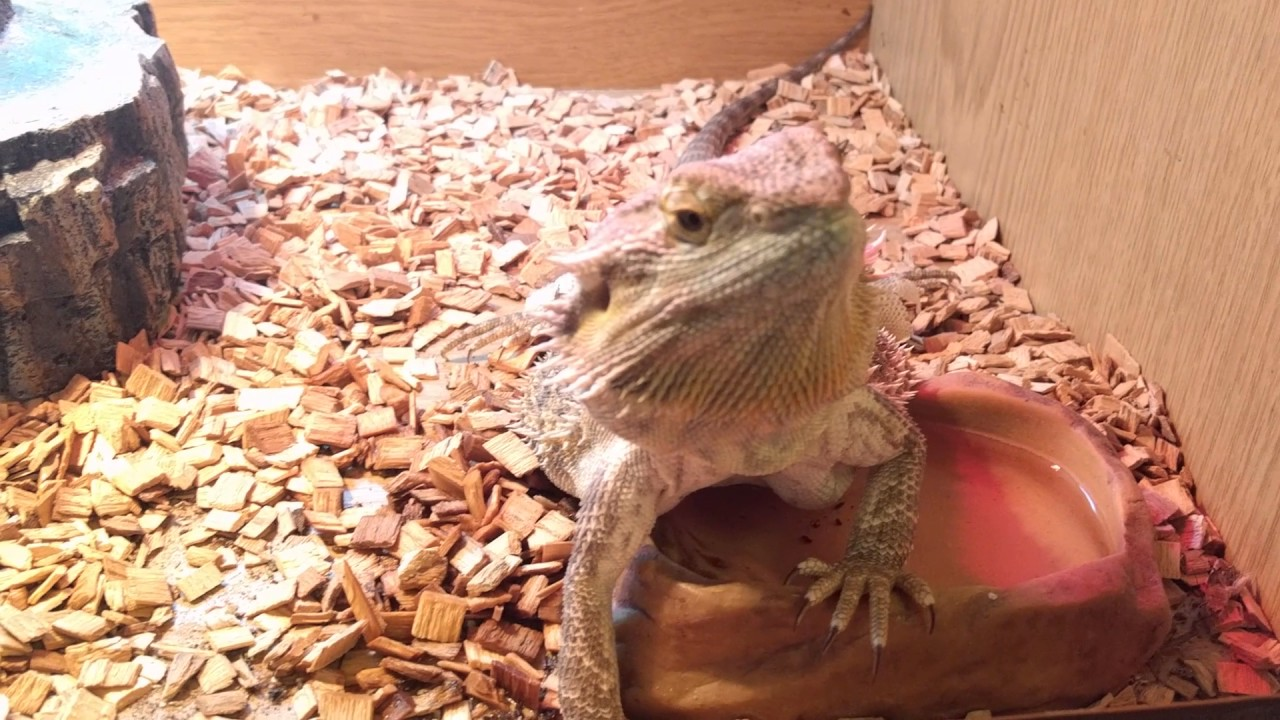Gillette the Bearded Dragon Announces 50 Subs!