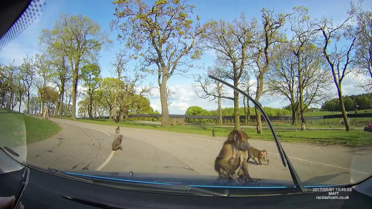 Baboons Jump on Bonnet and Damage Car at Knowsley Safari Park – Ripped Apart by Animals!