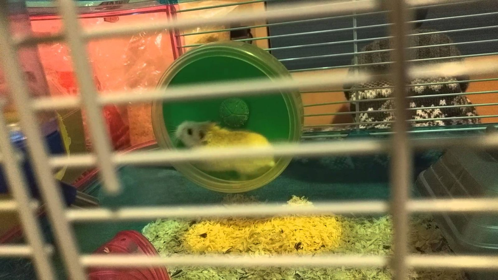 Daredevil Stunt Hamster Does Loop-The-Loop!