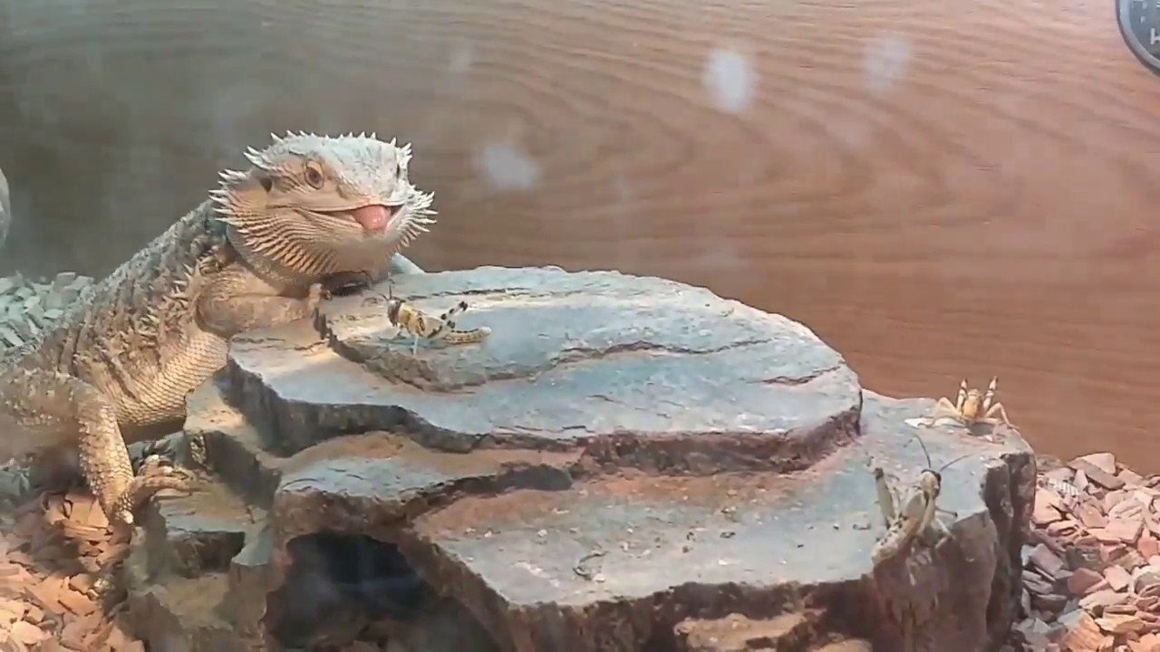 Bearded Dragon – Slow Motion Hunting Fall and #FAIL. Lizard Eating Locust